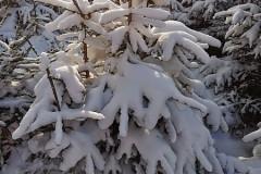 Śnieżne choinki