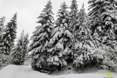Choinki w zimowej scenerii