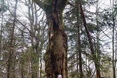 Kolejne ciekawe drzewko na szlaku
